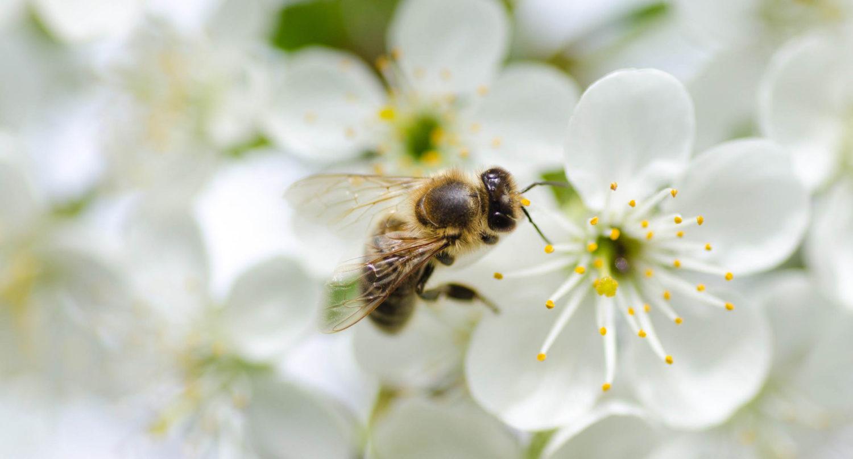 Mesi, mesindussaadused, mesilaspered, mesilasemad