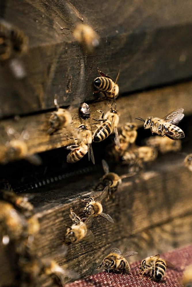 honey-pic